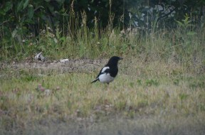 Magpie near the parking lot