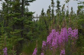 Fireweed is quite plentiful as I traveled in Canada and Alaska and as I time progressed I got to see it in different stages in different places.