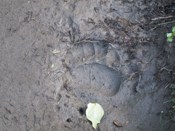 Bear print in the mud