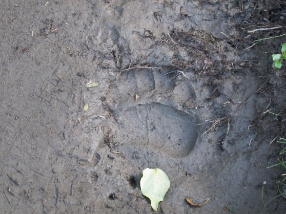 Bear print in the mud