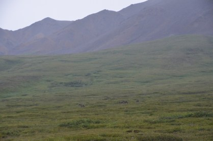 Wider shot of the caribou as they have moved along just a little.