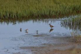 Shorebirds working on dinner
