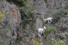 More Dall Sheep encountered on the rocks.