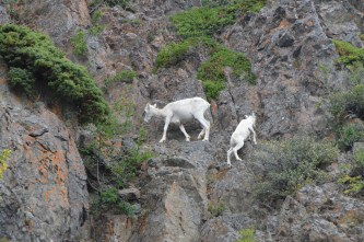 Working their way up the cliff.