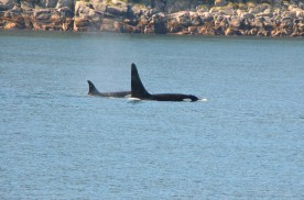 We spent a while watching a pod of Orcas.