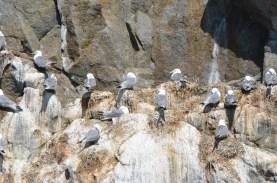 Closer look at the Kittiwakes nesting.