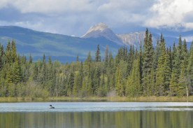 Mountains, forest and a Loon.