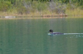 Getting a good light angle wasn't a given with the loon popping up here and there.