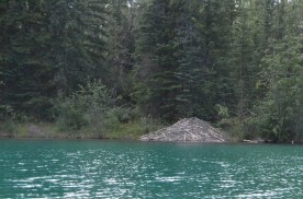 This beaver lodge is about six or seven feet at the center.