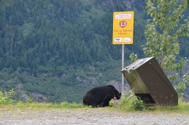 Bear in the parking area of the viewpoint