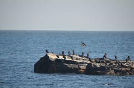 A cormorant coming in for a landing amongst others on this rock just off shore