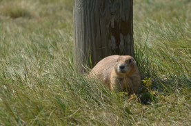 Prairie Dog right by the car