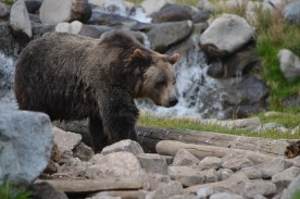 Grizzly_002