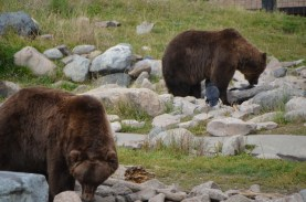 These bears are searching for hidden treats placed by the keepers just prior to the bears being let into the enclosure.