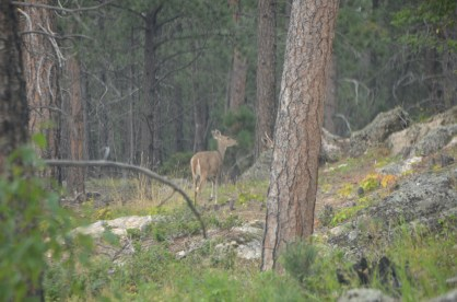 As the day waned the deer started to show up alongside the road