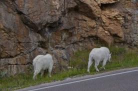 More goats around the corner