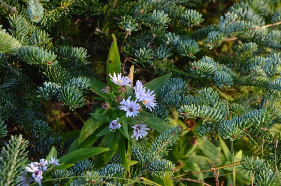 Flowers in amongst the low growing evergreens.