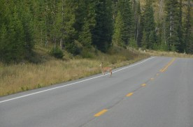Young deer crossing the road.