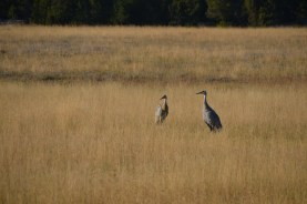 Sandhill cranes foraging in the lower geyser basin early in the morning before the crowds and the heat of the day.
