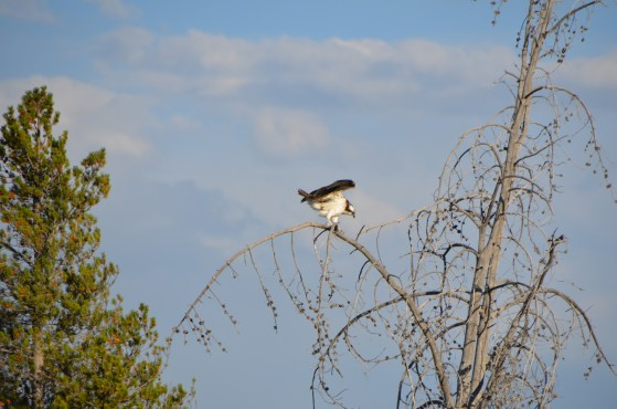 I had been watching this osprey as it moved along the same direction I was going. Caught him landing here.