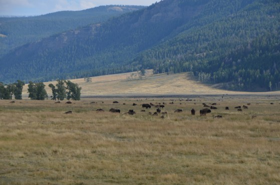 All along the road out to the Northeast entrance, herd upon herd of bison.