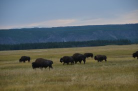 YellowstoneBison_012