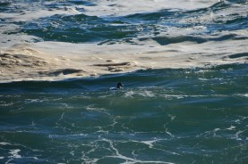 This bird would slip under the water as a wave approached and pop back up after.