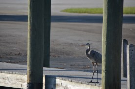 Great Blue Heron on the Dock.