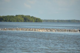 These birds are anxiously waiting for the tide to go out, and the mud flats to be exposed, for dinner.