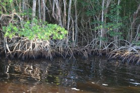 Floating debris fills in between the roots and creates an island.