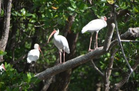 More of the Ibises on the branch above.