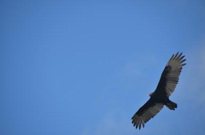 Vulture of some sort?