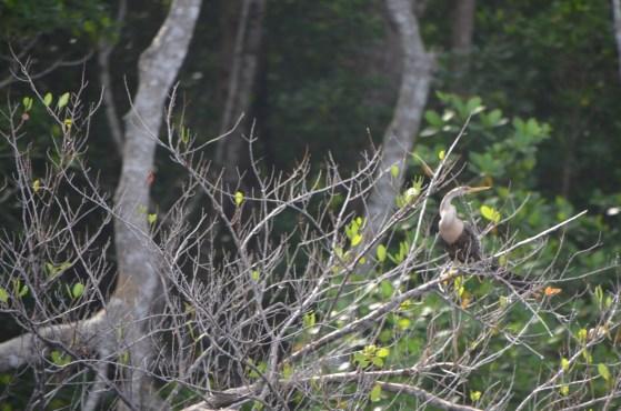 Male Anhinga