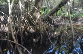 Black mangrove roots look like pencils sticking up from the ground.