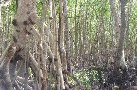 More black mangrove roots.
