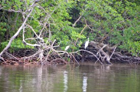 And the herons love the mangrove roots as a place to hunt from.