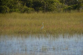 Great Egret hunting.