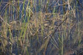 Algae around the stems of the grasses.