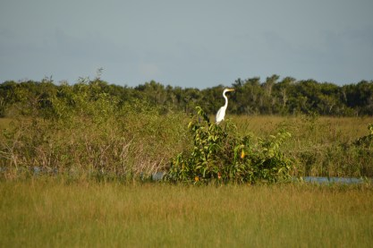 Everglades_104