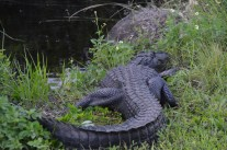 Another gator.
