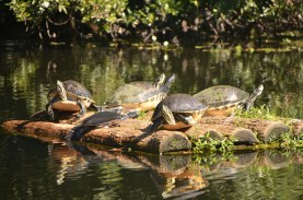 Turtles on a float near the dock.