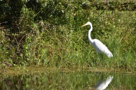 Great Egret along the shores of pepper creek.