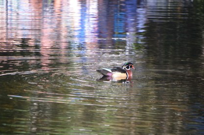Male Wood Duck