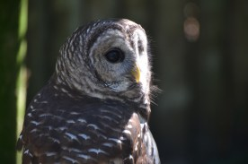 """Barred owl. We have a pair of these who live near my home. They have a very characteristic call. I've heard a way of remembering the call as """"Who cooks for you? Who cooks for you-all?"""""""