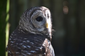 "Barred owl. We have a pair of these who live near my home. They have a very characteristic call. I've heard a way of remembering the call as ""Who cooks for you? Who cooks for you-all?"""