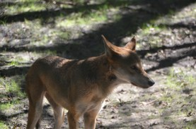 Red Wolf. If you look closely at this picture you can see the fence out of focus in the foreground.