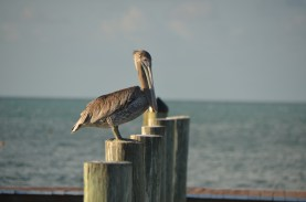 Brown Pelican on the pilings at the RV park's beach.