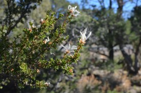 Mexican Cliffrose going to seed. Each of these white feathers has a seed at the end.