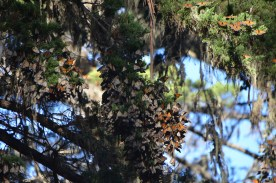 Clustered on the evergreens