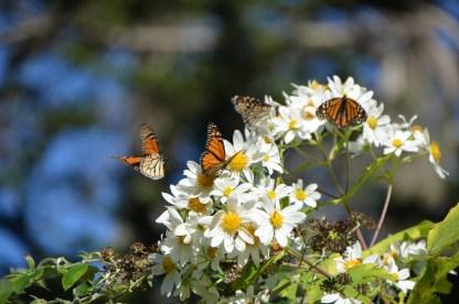 Monarchs_007